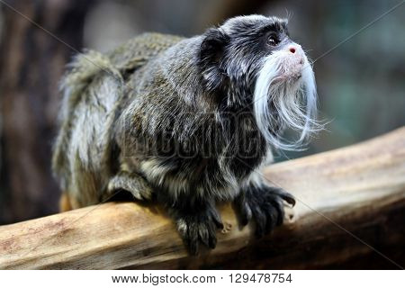 Cute Emperor tamarin is siting on wood