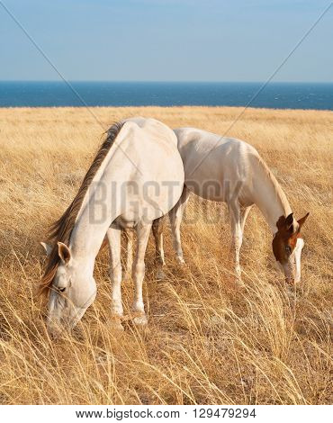 Horses family in Crimean prairie in front of the sea
