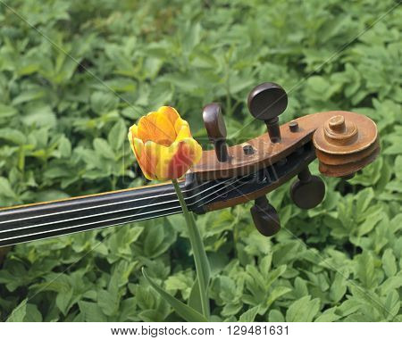 Cello laid on a flowerbed and a single beautiful tulip growing up outdoor shot concept of the arts