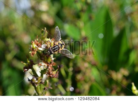 Hoverfly, flower fly, syrphidae, bright yellow, black and white colorful fly, gathering nectar pollen from a flowering plant