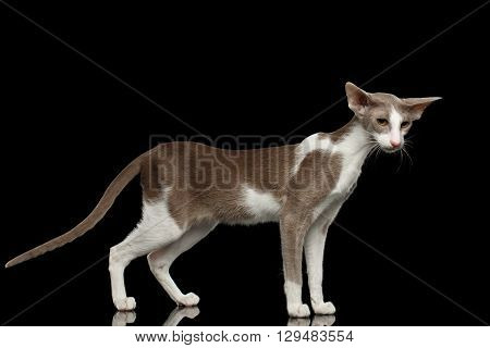 Gray Oriental Cat With Big Ears Standing and curious Looking at Side Black Isolated Background