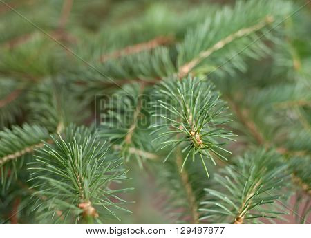 General view of the branches of an evergreen conifer - spruce close-up