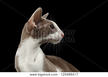Closeup Gray Oriental Cat With Big Ears curious Looking at Side Black Isolated Background