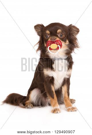 brown chihuahua dog with a pacifier on white