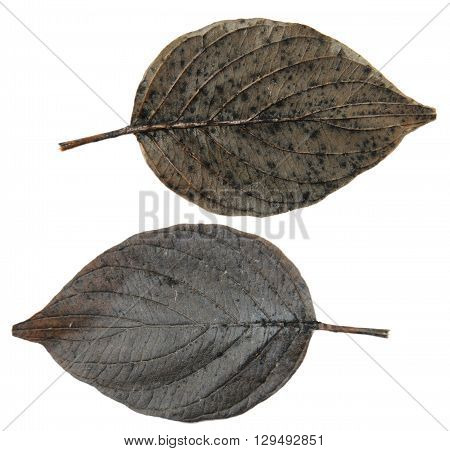 dry leaf poplar black silver tree isolated leaves on white background for scrapbook leaves object autumn leaf
