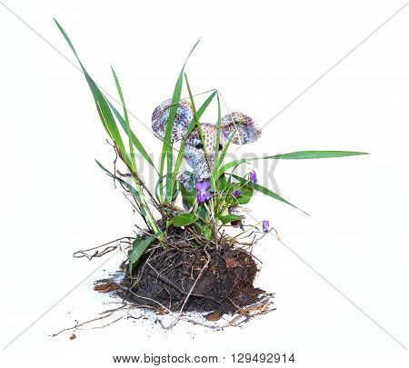 young bush pansies violets with flowers piece of land and roots fresh leaf close up early spring isolated elements on white background for scrapbook object small colorful knitted toy mouse in a white scarf