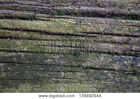 Old cracked decay wood background covered in green moss and mold