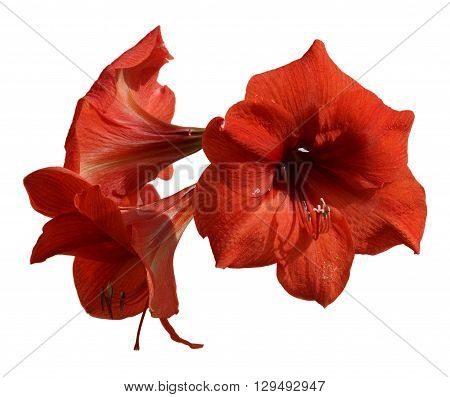fresh Hippeastrum flower Amaryllis young branch of three flowers close-up isolated on a white background element for scrapbook object