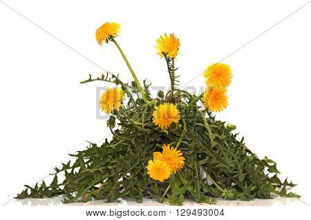 young bush bright cap dandelion flower object with a piece of land and roots fresh leaf close up early spring isolated elements on white background for scrapbook object