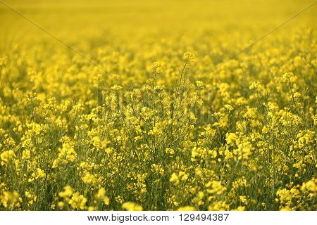 Blooming Yellow Canola Field In The Summer