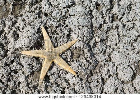 Large Starfish With Five Toes On The Rock Of The Sea In Summer