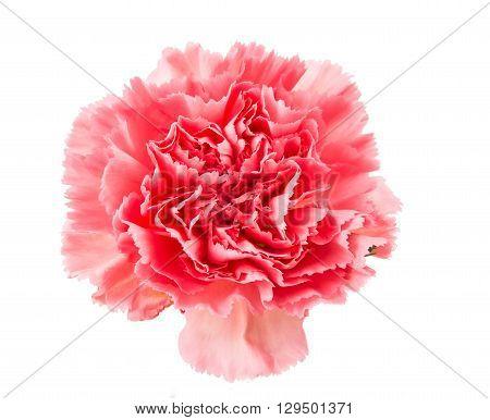 nature carnation flower isolated on white background