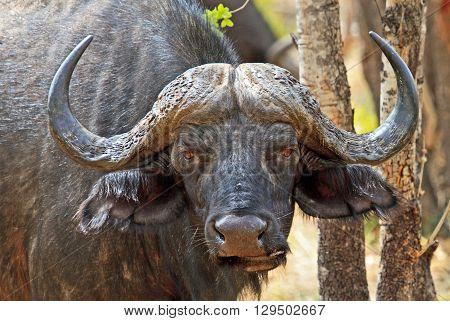 Large Cape Buffalo Bull head in the bush in Hwange National Park - Zimbabwe