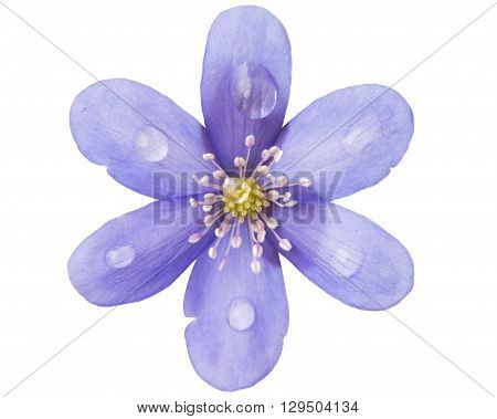 Hepatica nobilis on a white background seasonal,