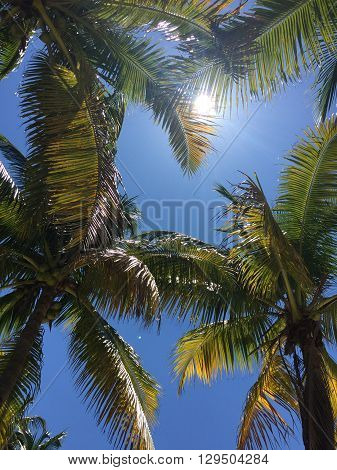 A bright and sunny photo of palm trees covering up the blue sky.