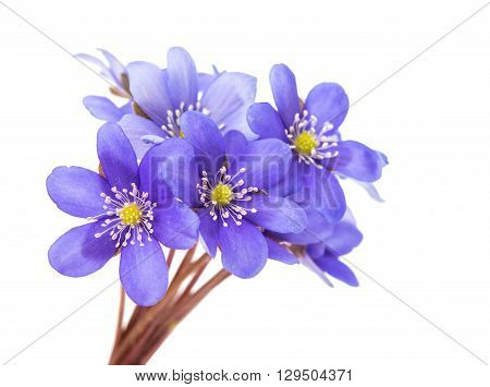 Hepatica nobilis on a white background, bloom,