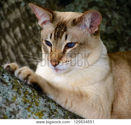 Cat perched in the treewith a great pose as she is waiting for prey.