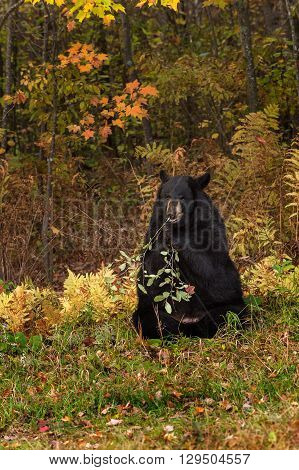 Adult Female Black Bear (Ursus americanus) Nibbles - captive animal