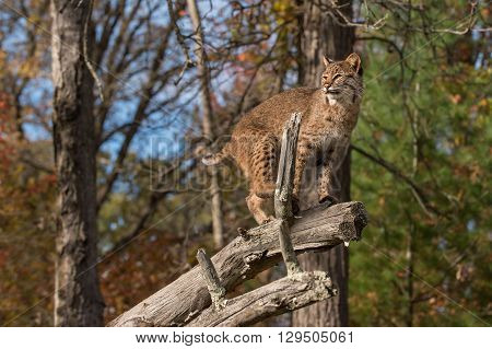 Bobcat (Lynx rufus) Looks Left Atop Branch - captive animal