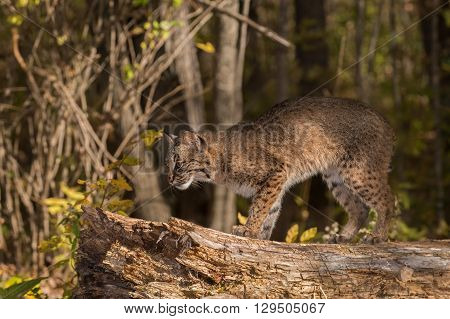 Bobcat (Lynx rufus) Stands on Log Looking Left - captive animal
