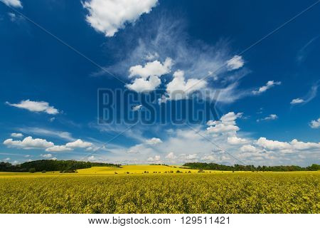 Rapeseed Fields Early Summer Landscape. Yellow Rape Fields. Scenic Nature Photo Background.