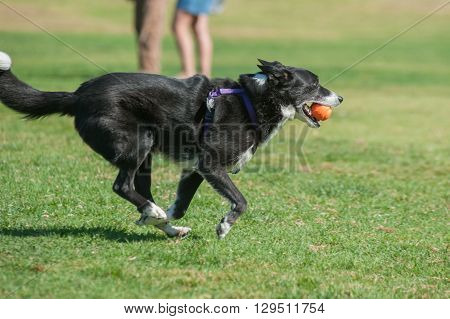 Streamlined Border Collie running fast at dog park with ball in mouth.