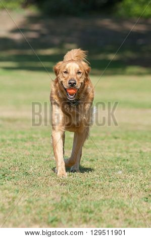 Golden Retriever running forward at dog park with ball in mouth.