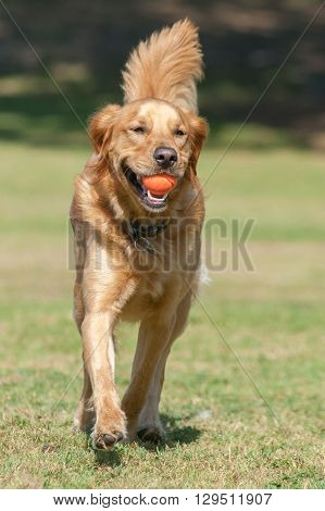 Close view of Golden Retriever running forward at dog park with ball in mouth.