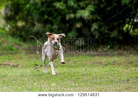Parson Russell Terrier Female Dog Running With Speed With His Favorite Toy