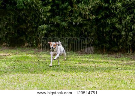 Adorable Funny Dog Jack Russell Terrier Running With His Favorite Ball
