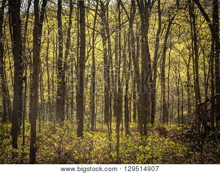 Sunlight Through Springtime Trees in a Forest