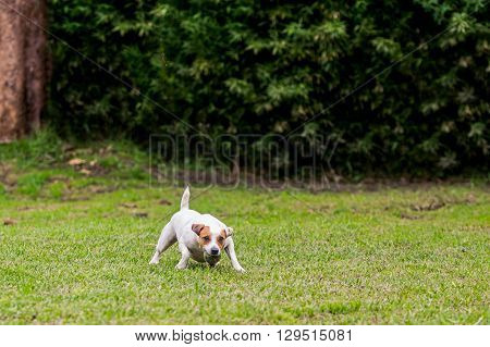 Jack Russell Terrier Purebred Dog With His Favorite Ball