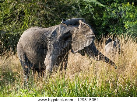Big African Elephant (loxodonta Africana) Shakes His Head In Anger