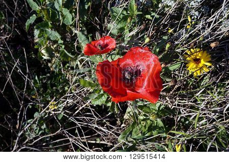A red poppy (Papaver rhoeas) blooms in the Wildflower Park of Naperville, Illinois during November.