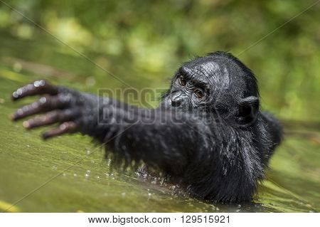 The Chimpanzee Bonobo In The Water. The Bonobo ( Pan Paniscus)