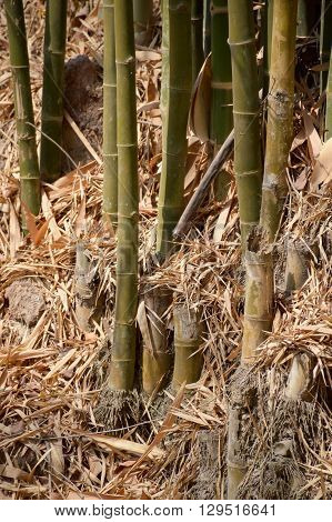 close up bamboo tree in forest , Nakhon Nayok Thailand