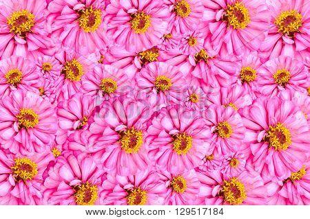 pink Zinnia elegans flower pattern for background