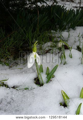 Galanthus under snow In early spring directly out of the snow Galanthus flowers appear.