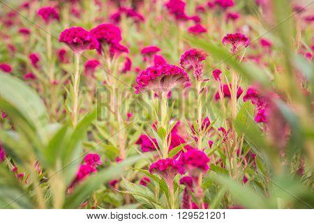 Red Cockscomb Flower In The Garden