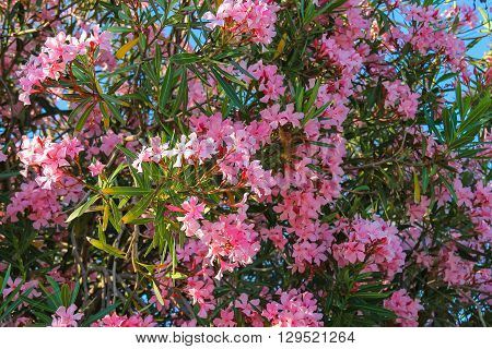 Oleander flowers on the bush in Italy