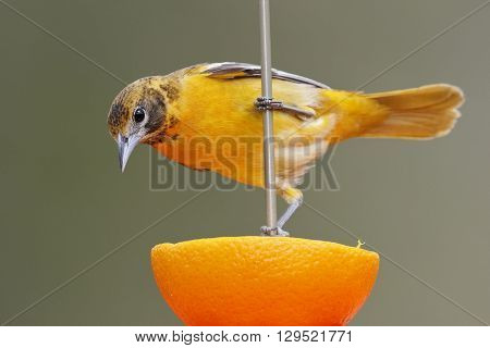 Female Baltimore Oriole (Icterus galbula) feeding on an orange - Ontario Canada