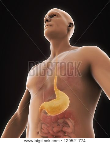 Human Stomach Anatomy Illustration . 3D render