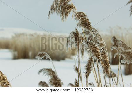 Frozen reed it is covered hoarfrost snow