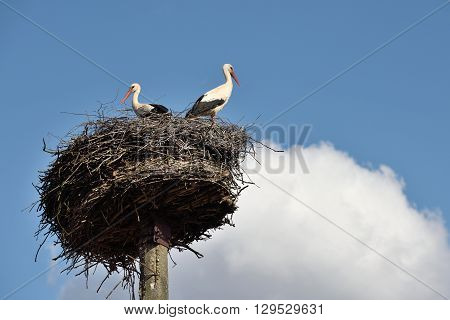 Storks in the nest Lithuania East Europe