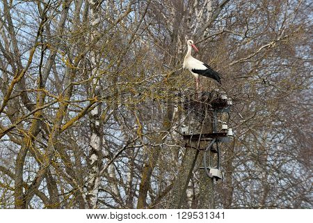 Stork in the nest, Lithuania, East Europe