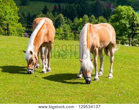 Two palomino horses grazing on a green pasture
