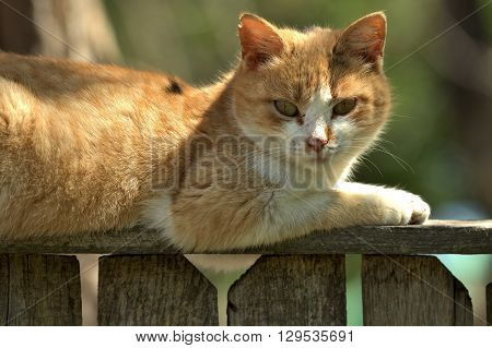 Lazy red cat sitting on a fence
