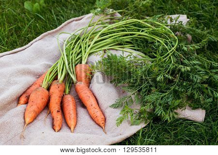 freshly picked carrots with green leaves on rustic background