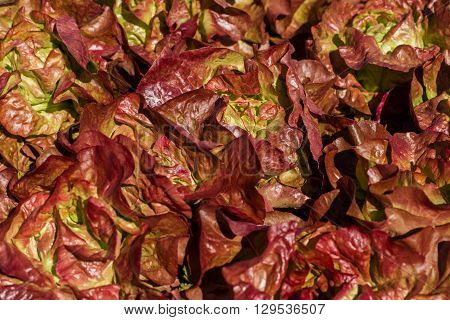 leaves of red lettuce growing in the countryside in summer