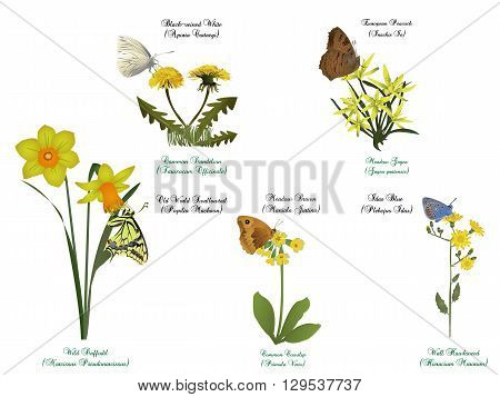 it is illustration of butterfly set - On yellow flowers.